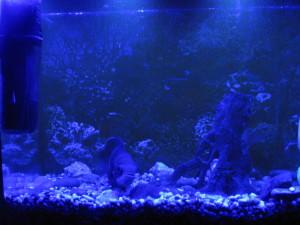 Фитолампа синего спектра над аквариумом