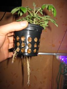Корни томата без зелени