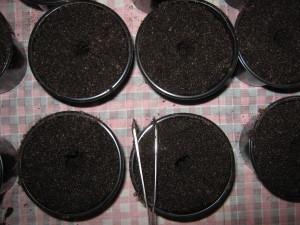 Лунки для томатной рассады