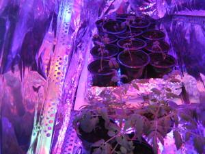 Растения под фитолампами