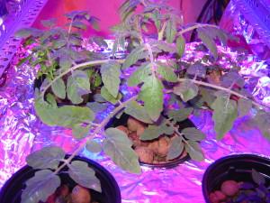 Старший томат в гидропонной системе