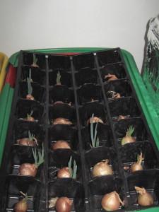 Результаты выращивание лука под фитолампой для рассады