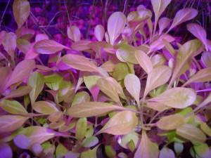 Выращивание зелени. Салат.
