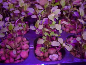 Выращивание зелени. Щавель.
