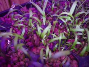 Выращивание зелени. Укроп.