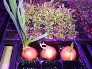 Выращивание зелени. Лук.