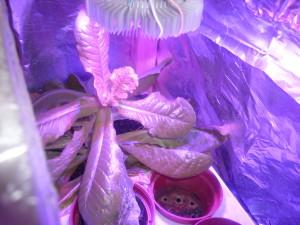 Салат по фитолампой для рассады