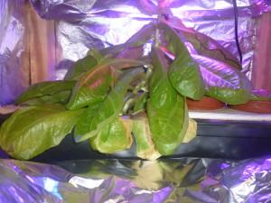 Салат по фитолампой